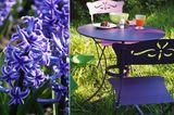 Hyazinthe: tiefes Violett
