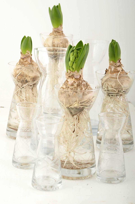 Puristische Winterdeko: Wer die Knollen nicht auspflanzen möchte, kann die Hyazinthe im Glas vorziehen.