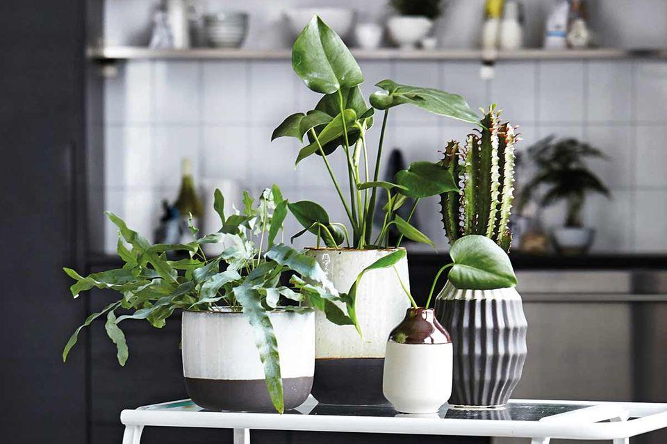 Zimmerpflanzen wie Sukkulenten und Kakteen auf einem Teewagen in der Küche