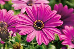 Pinkfarbene Kapmargeritenblüten