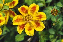 Gelb-rote Blüte von Bidets (Zweizahn)