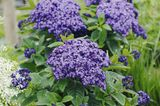 Lila Blüten der Vanilleblume (Heliotrop)