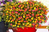 Blühende Portulakaröschen