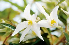 Weiße Begonienblüte
