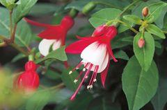 Rot-Weiße Blüten der Fuchsie 'Helena'