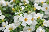 Blüten der Sutera