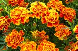 Tagetesblüten in Orange-Gelb