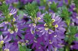Blüten der Fächerblume