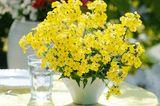 Gelb blühender Elfenspiegel im Topf