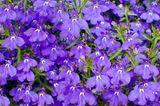 Blaue Lobelienblüten