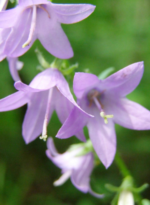 Blüten dr Glockenblume