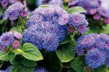 Blüten von Leberbalsam