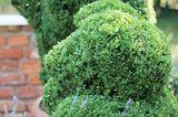 geschnittener Buchsbaum
