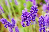 Lavendelblüten aus der Nähe