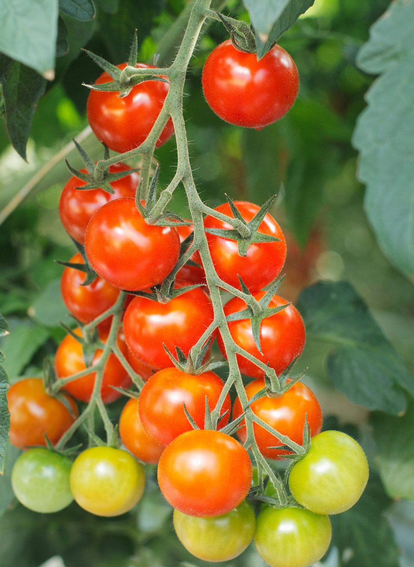 Erntereife Tomaten