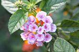 Blühendes Wandelröschen