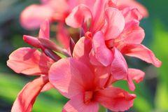 Blühendes Indisches Blumenrohr