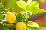 Früchte am Zitronenbäumchen