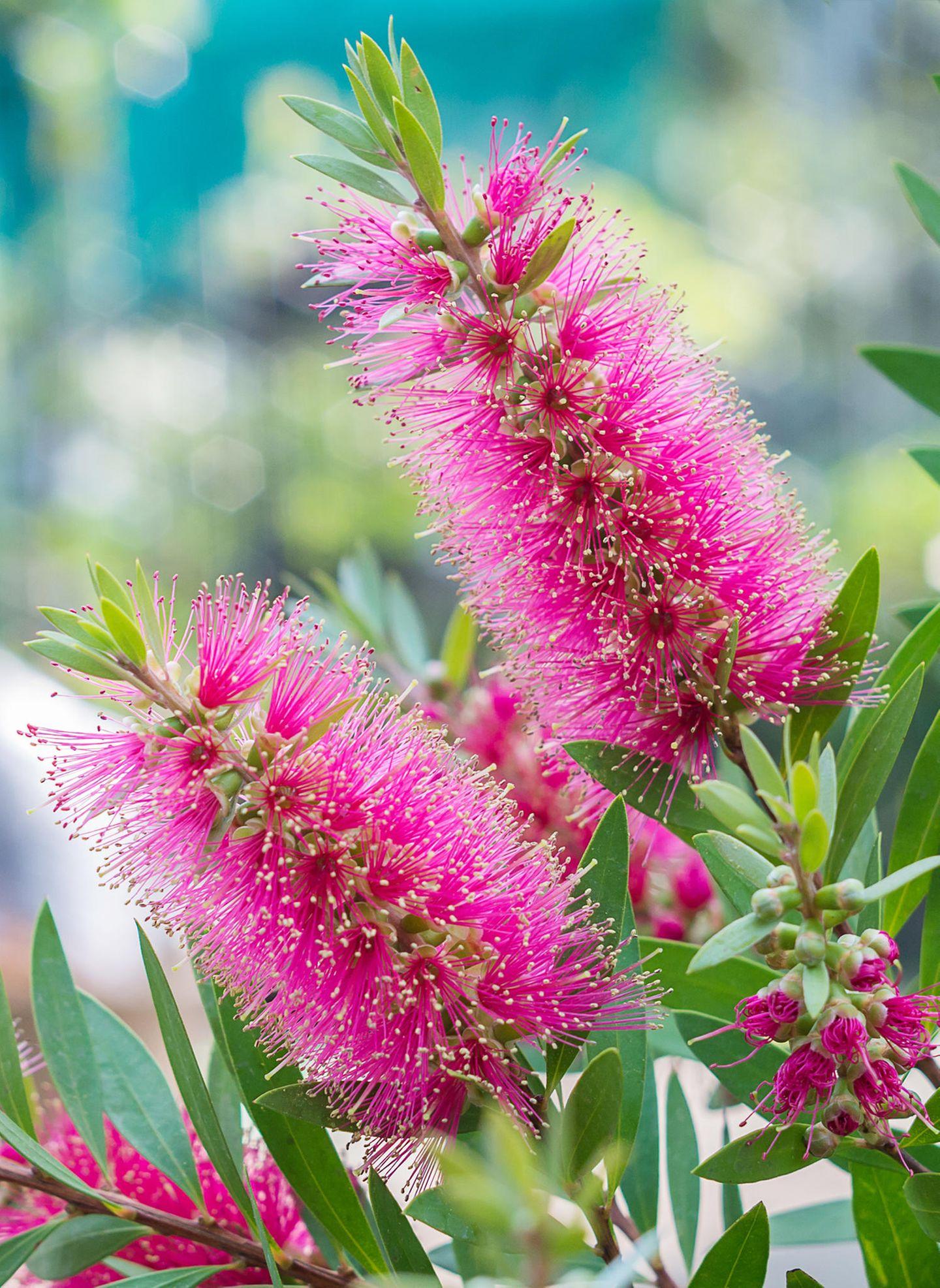 Blüten vom Zylinderputzer (Callistemon)