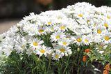 Blühende Margeriten im Kübel