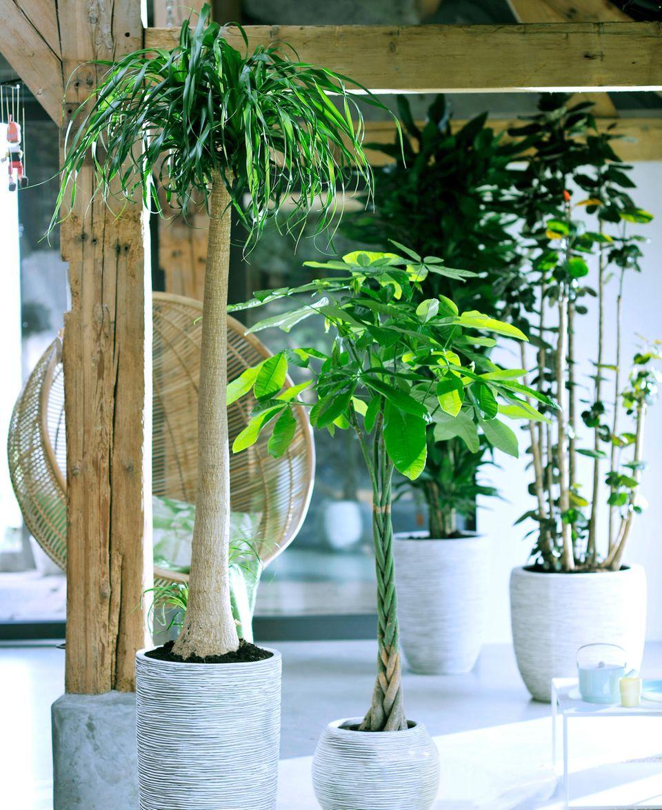 Zimmerpflanzen in hellem Wohnraum.
