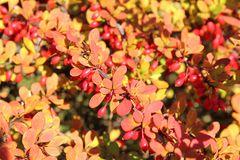 Berberitze im Herbst