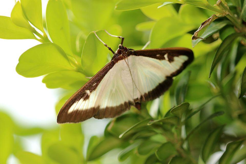 Buchsbaumzünsler Schmetterling