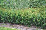 Buchsbaum Alternative Berberis buxifolia 'Nana'