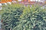 Buchsbaum-Alternative Kriechspindelstrauch Euonymus fortunei 'Minimus'