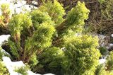 Buchsbaum-Alternative Lebensbaum (Thuja occidentalis 'Teddy')