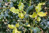 Buchsbaum-Alternative Ilex aquifolium
