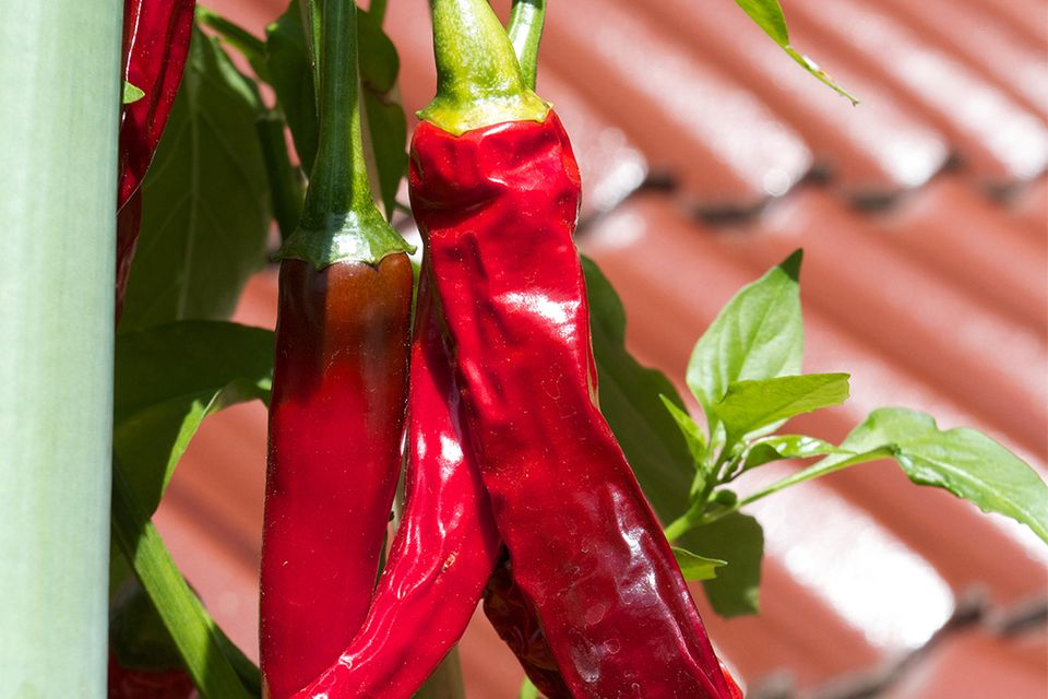 Chili auf dem Balkon