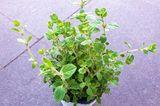 Oregano als Topfpflanze