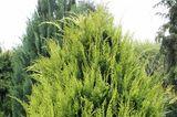 Buchsbaum-Alternative Gartenzypresse 'Ivonne'
