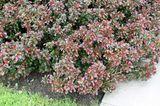 Buchsbaum-Alternative Kleine Blutberberitze (Berberis thunbergii 'Atropurpurea Nana')