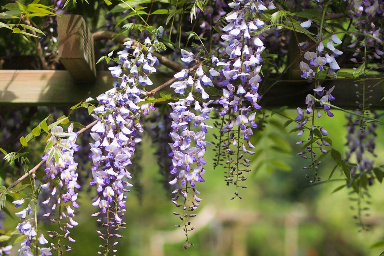 Blühender Blauregen als Kletterpflanze an Pergola