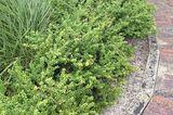 Buchsbaum-Alternative Ilex crenata 'Convexa'