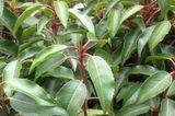 Prunus lusitanica 'Angustifolia', Portugiesische Lorbeerkirsche