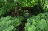 Üppiger Straußenfarn im japanischen Schaugarten