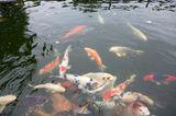 Koi-Karpfenteich im japanischen Garten