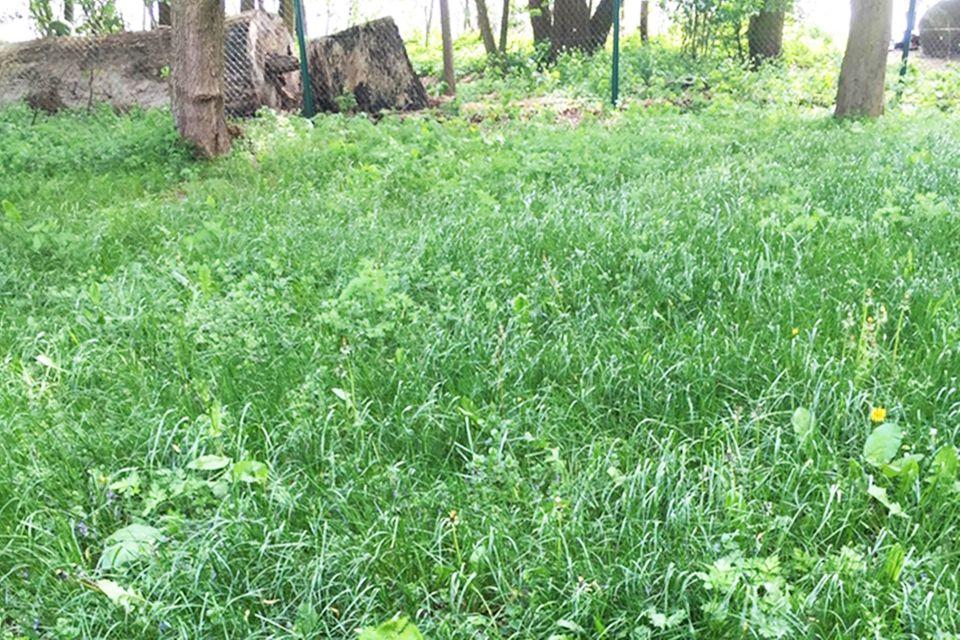 Rasen mit Unkraut und langen Halmen
