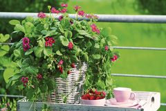 Erdbeere im Kübel