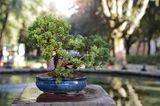 Bonsai in blauer Pflanzschale