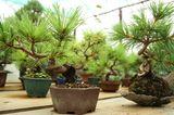 Verschiedene Pflanzschalen für Bonsai