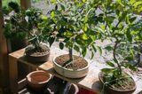 Bonsai umtopfen in Spezialerde