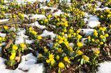 Winterling im Schnee