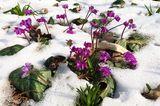 Frühlingsalpenveilchen