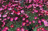 Moos-Steinbrech (Saxifraga arendsii 'Blütenteppich')