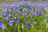 Sibirischer Blaustern (Scilla)