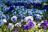 Stieffmütterchen in weiß, blau und lila